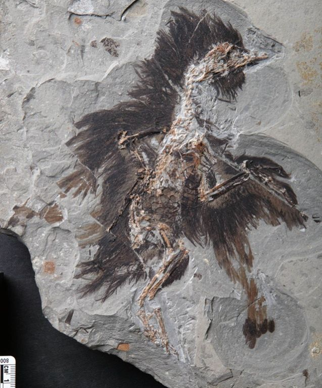 Fossile 01