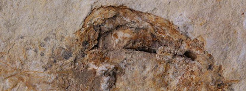 Fossile champignon