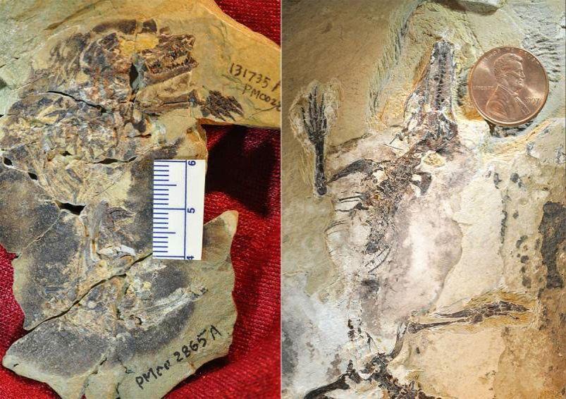 Fossiles protomammiferes